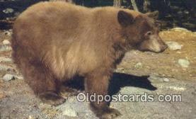 ber001317 - Bear Bears Postcard Post Card Old Vintage Antique