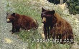 ber001388 - American Black Bear Postcard, Bear Post Card Old Vintage Antique