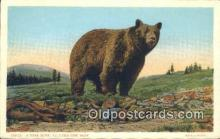 ber001398 - Yellowstone National Park Bear Postcard, Bear Post Card Old Vintage Antique