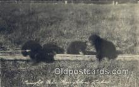ber001419 - Houghton Lake, MI, Michigan, USA Bear Postcard, Bear Post Card Old Vintage Antique