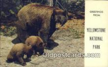 ber001427 - Yellowstone National Park Bear Postcard, Bear Post Card Old Vintage Antique