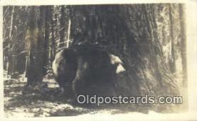 ber001431 - Bear Postcard, Bear Post Card Old Vintage Antique