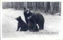 ber001433 - Yellowstone National Park Bear Postcard, Bear Post Card Old Vintage Antique