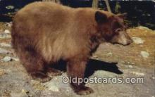 ber001454 - American Black Bear Postcard, Bear Post Card Old Vintage Antique