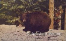 ber001455 - American Black Bear Postcard, Bear Post Card Old Vintage Antique