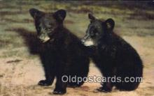 ber001458 - Black Cubs Bear Postcard, Bear Post Card Old Vintage Antique