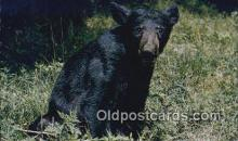 ber001459 - Appalachian Black Bear Postcard, Bear Post Card Old Vintage Antique