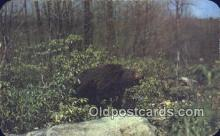 ber001471 - Pocono Mts, Penn, PA USA Bear Postcard Bear Post Card Old Vintage Antique