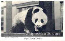 ber001484 - Giant Panda Bear Postcard Bear Post Card Old Vintage Antique