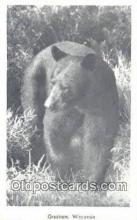 ber001505 - Gresham Wisconsin, WI USA Bear Postcard Bear Post Card Old Vintage Antique
