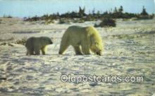 ber001554 - Western Shores of Hudson's Bay Bear Postcard Bear Post Card Old Vintage Antique