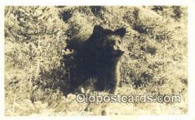 ber001556 - Real Photo - Washington Native Bear Postcard Bear Post Card Old Vintage Antique