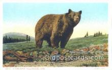 ber001567 - Yellowstone National Park Bear Postcard Bear Post Card Old Vintage Antique