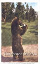 ber001616 - Yellowstone National Park Bear Postcard,  Bear Post Card Old Vintage Antique
