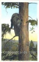 ber001619 - Yellowstone National Park Bear Postcard,  Bear Post Card Old Vintage Antique