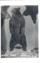 ber001620 - Museum, Browing Montana USA Bear Postcard,  Bear Post Card Old Vintage Antique