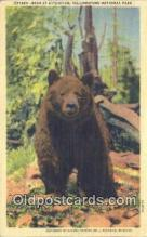 ber001624 - Yellowstone National Park Bear Postcard,  Bear Post Card Old Vintage Antique