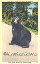 ber001628 - Great Smoky Mnt. National Park Bear Postcard,  Bear Post Card Old Vintage Antique