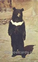 ber001631 - San Diego Zoo, CA. USA Bear Postcard,  Bear Post Card Old Vintage Antique