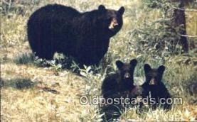 ber001636 - Great Smoky Mnt. National Park Bear Postcard,  Bear Post Card Old Vintage Antique