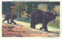 ber001639 - Yellowstone National Park Bear Postcard,  Bear Post Card Old Vintage Antique