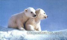 ber001642 - Artic Alaska Polar Cubs Bear Postcard,  Bear Post Card Old Vintage Antique