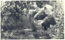 ber001644 - Real Photo - Beavers Bear Postcard,  Bear Post Card Old Vintage Antique