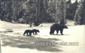 ber001648 - Northern Wisconsin Bear Postcard,  Bear Post Card Old Vintage Antique