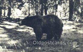 ber001650 - Bear Postcard,  Bear Post Card Old Vintage Antique