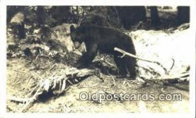 ber001654 - Washington Napwe Cub Bear Postcard,  Bear Post Card Old Vintage Antique