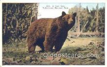 ber001663 - Yellowstone National Park Bear Postcard,  Bear Post Card Old Vintage Antique