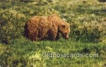 ber001665 - Grizzly Bear Postcard,  Bear Post Card Old Vintage Antique