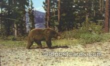 ber001673 - Yellowstone National Park Bear Postcard,  Bear Post Card Old Vintage Antique