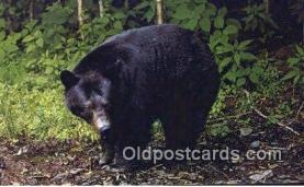 ber001675 - Bear Postcard,  Bear Post Card Old Vintage Antique