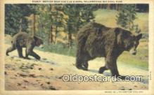 ber001681 - Yellowstone National Park Bear Postcard,  Bear Post Card Old Vintage Antique