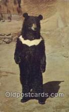 ber001717 - San Diego Zoo, CA. USA Bear Postcard,  Bear Post Card Old Vintage Antique