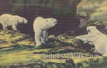 ber001736 - White Polar Bears, Cincinnati Zoo, Ohip USA, Bear Postcard Post Card Old Vintage Antique
