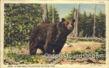 ber001765 - Yellowstone National Park, Wyoming, USA, Bear Postcard Post Card Old Vintage Antique