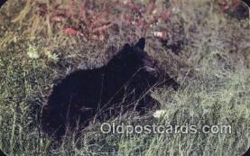 ber001766 - Bear Postcard Post Card Old Vintage Antique