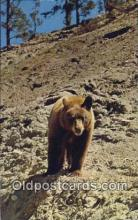 ber001772 - Yellowstone, National Park, Wyoming, USA, Bear Postcard Post Card Old Vintage Antique