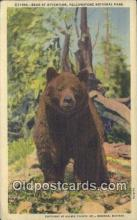 ber001780 - Yellowstone, National Park, Wyoming, USA, Bear Postcard Post Card Old Vintage Antique