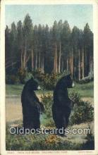 ber001786 - Yellowstone, National Park, Bear Postcard Post Card Old Vintage Antique