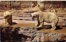 ber002055 - Polar Bears San Antonio Zoological Gardens & Aquarium Postcard Post Card