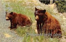 ber002056 - American Black Bear  Postcard Post Card