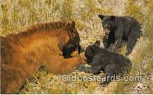 ber002057 - Black Bear & Cubs Canadian Rockies Postcard Post Card