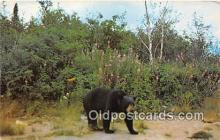 ber002060 - Black Bear  Postcard Post Card