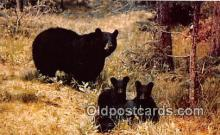 ber002064 - Black Bear & Cubs  Postcard Post Card