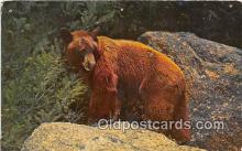 ber002066 - Western Brown Bear  Postcard Post Card