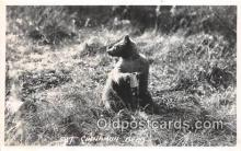 ber002073 - Cinnamon Bear  Postcard Post Card