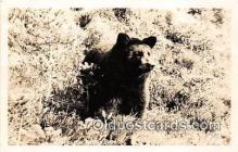 ber002074 - Washington Native Bear  Postcard Post Card